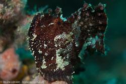 BD-161027-Pantar-3276-Taenianotus-triacanthus.-Lacepède.-1802-[Leaf-scorpionfish].jpg
